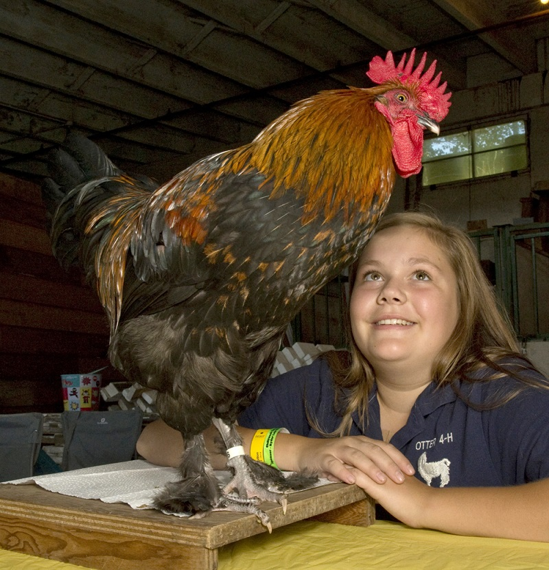 Amanda Shaw (13 years old) from the Otter 4H Llama Club is preparing Bounce, a six month old Black Cooper Maran Rooster for the 4H Competition. This competition sees over 600 young people from across British Columbia who come to The Fair to compete. The Fair continues until Labour Day.